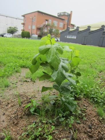 雨にぬれる桑の葉。 すくすく育て!