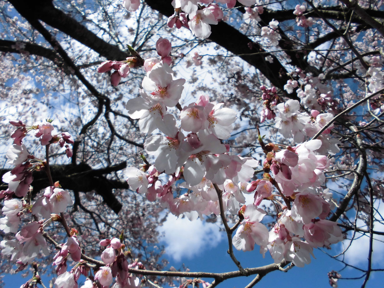0418桜 (16)